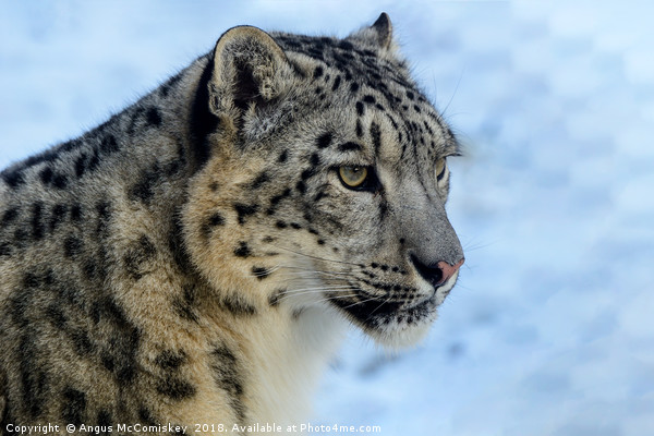 Snow leopard portrait Canvas Print by Angus McComiskey