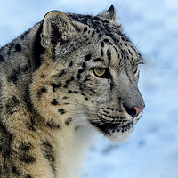 Buy canvas prints of Snow leopard portrait by Angus McComiskey