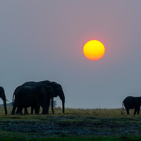Buy canvas prints of Elephants at sunset by Angus McComiskey