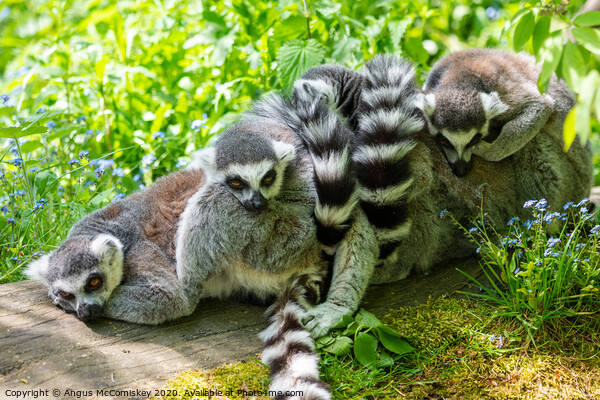 Ring-tailed lemur huddle Canvas Print by Angus McComiskey