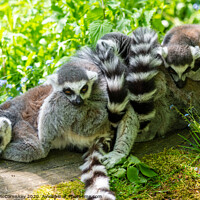 Buy canvas prints of Ring-tailed lemur huddle by Angus McComiskey