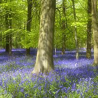 Buy canvas prints of English Bluebell Wood by Alan Crawford