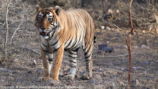 Bengal Tiger Canvas print by Alan Crawford