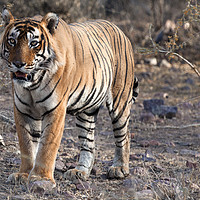 Buy canvas prints of Bengal Tiger by Alan Crawford