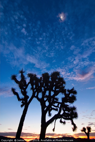 Joshua Trees beautifully lit during sunrise. Canvas print by Jamie Pham