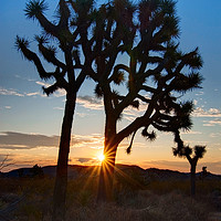 Buy canvas prints of Joshua Trees beautifully lit during sunrise. by Jamie Pham