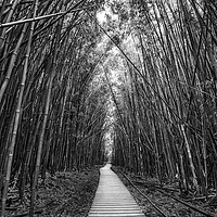 Buy canvas prints of The magical and mysterious bamboo forest of Maui. by Jamie Pham