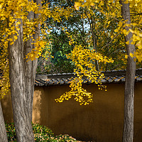 Buy canvas prints of Golden Ginkgo by Jamie Pham