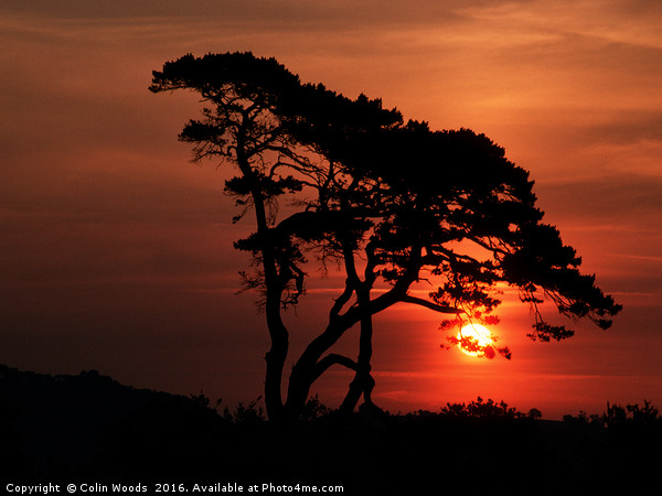 Tree at Sunrise Canvas Print by Colin Woods