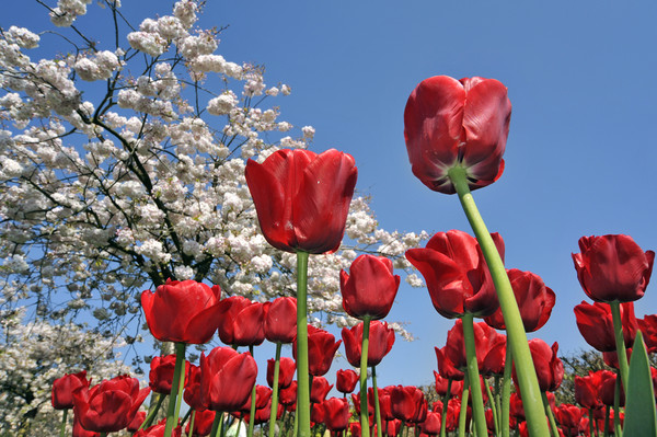 Red Tulips Canvas print by Philippe Clement