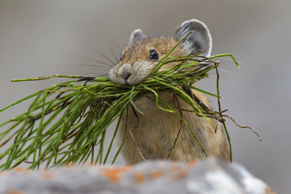 American Pika with Mouthful Framed Mounted Print by Philippe Clement