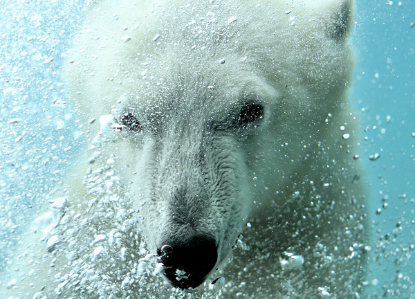 Polar Bear Canvas print by Arterra