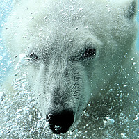 Buy canvas prints of Polar Bear by Arterra