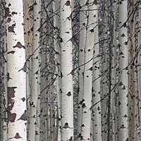 Buy canvas prints of Quaking aspen by Arterra