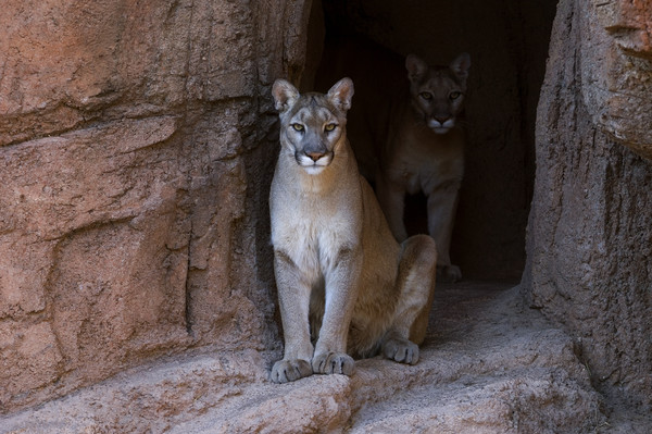 Mountain Lions in Cave Canvas Print by Arterra