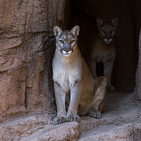 Buy canvas prints of Mountain Lions in Cave by Arterra