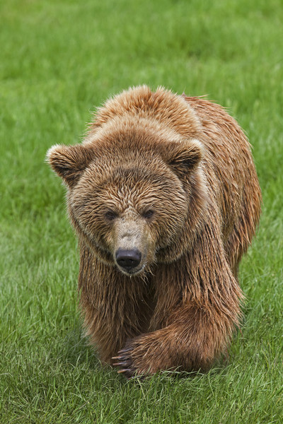 Brown Bear in Meadow Canvas print by Arterra