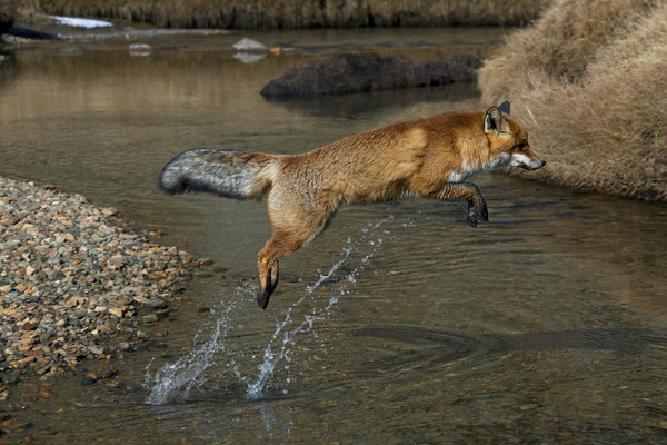 Red Fox jumping over River Canvas print by Arterra
