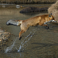 Buy canvas prints of Red Fox jumping over River by Arterra