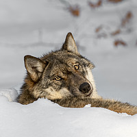 Buy canvas prints of Lonely Wolf Resting in the Snow by Arterra
