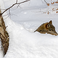 Buy canvas prints of Lone Wolf in the Snow by Arterra
