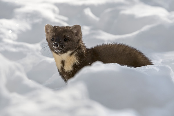 Pine Marten Hunting in the Snow Canvas print by Arterra