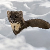 Buy canvas prints of Pine Marten Hunting in the Snow by Arterra