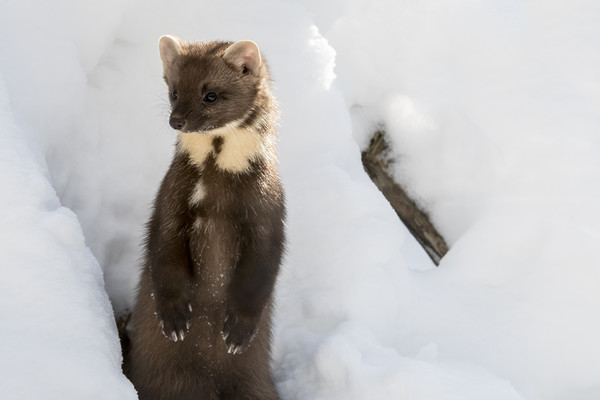 Curious Pine Marten in the Snow Canvas print by Arterra
