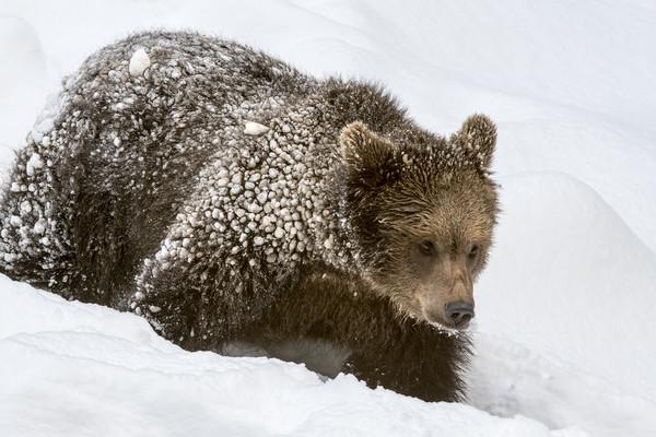Brown Bear Cub in Winter Canvas Print by Arterra