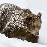 Buy canvas prints of Brown Bear Cub in Winter by Arterra
