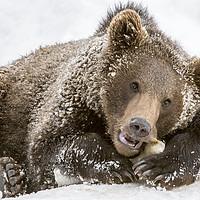 Buy canvas prints of Brown Bear Cub Chewing Bone by Arterra