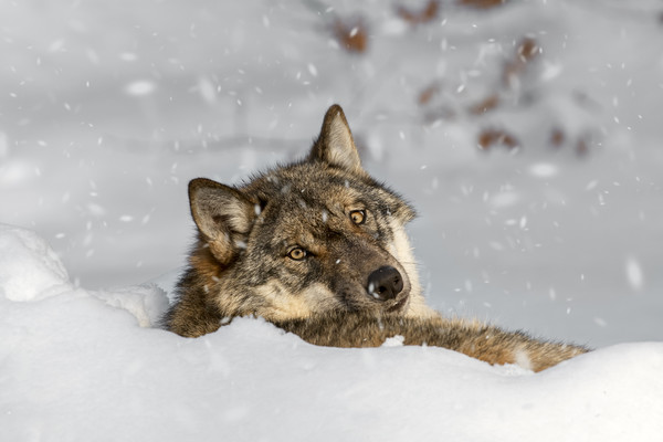 Wolf Resting in the Snow in Winter Canvas print by Arterra