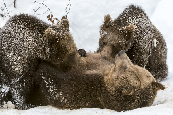 Brown Bear Suckling Cubs in the Snow Canvas print by Arterra