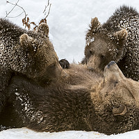 Buy canvas prints of Brown Bear Suckling Cubs in the Snow by Arterra