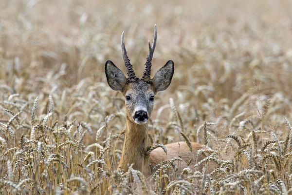 Roe Deer in Wheat Field Canvas print by Arterra