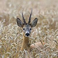 Buy canvas prints of Roe Deer in Wheat Field by Arterra
