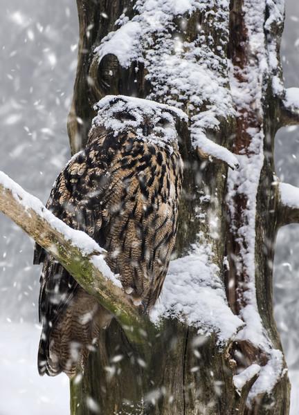 Eagle Owl in Snowstorm Framed Print by Arterra