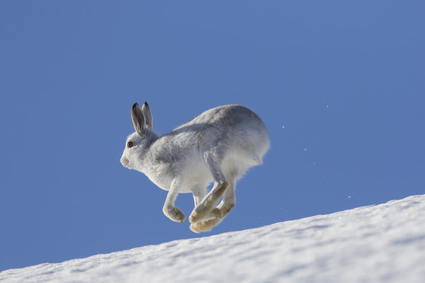 Mountain Hare running in the Snow Canvas print by Arterra