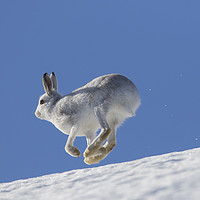 Buy canvas prints of Mountain Hare running in the Snow by Arterra