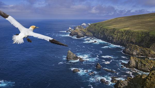 Gannet flying over Hermaness, Shetland Canvas Print by Arterra