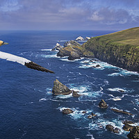 Buy canvas prints of Gannet flying over Hermaness, Shetland by Arterra