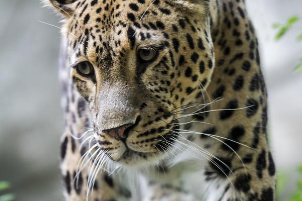 Persian Leopard Canvas Print by Arterra