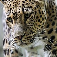 Buy canvas prints of Persian Leopard by Arterra