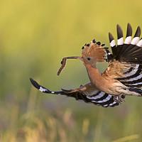 Buy canvas prints of Eurasian Hoopoe in Flight by Arterra
