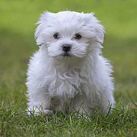 Buy canvas prints of Cute Maltese Puppy by Arterra