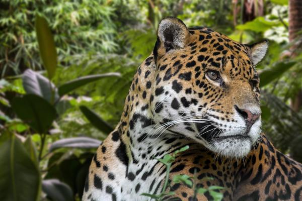 Jaguar Canvas Print by Arterra