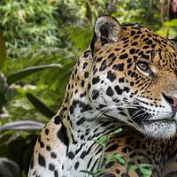 Buy canvas prints of Jaguar by Arterra