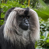 Buy canvas prints of Lion-tailed Macaque by Arterra