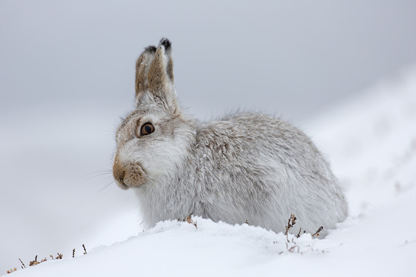 Scottish Mountain Hare Canvas print by Arterra