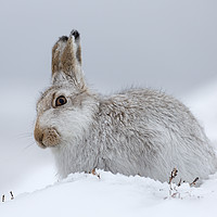 Buy canvas prints of Scottish Mountain Hare by Arterra